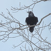 Common Raven <br /> Ravens Roost Overlook <br /> Blue Ridge Parkway  <br /> Virginia