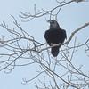 Common Raven <br /> Ravens Roost Overlook <br /> Blue Ridge Parkway  <br /> Virginia