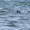 Black Scoter <br /> Point Lookout State Park  <br /> St. Mary's County, Maryland <br /> 4/04/15