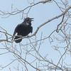"Common Raven <span class=""spacer_LB_caption""> • </span> <br> Raven Roost <span class=""spacer_LB_caption""> • </span> <br> Blue Ridge Parkway, Virginia <span class=""spacer_LB_caption""> • </span> <br> 4/03/15"