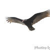 Turkey Vulture <br /> Raven Roost <br /> Blue Ridge Parkway, Virginia <br /> 4/03/15