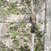 Northern Flicker ''Yellow_Shafted'' <br /> Wildewood, California  <br /> St. Mary's County, Maryland <br /> 04/05/15