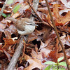 Carolina Wren  <br /> Wildewood, California  <br /> St. Mary's County, Maryland <br /> 04/08/15