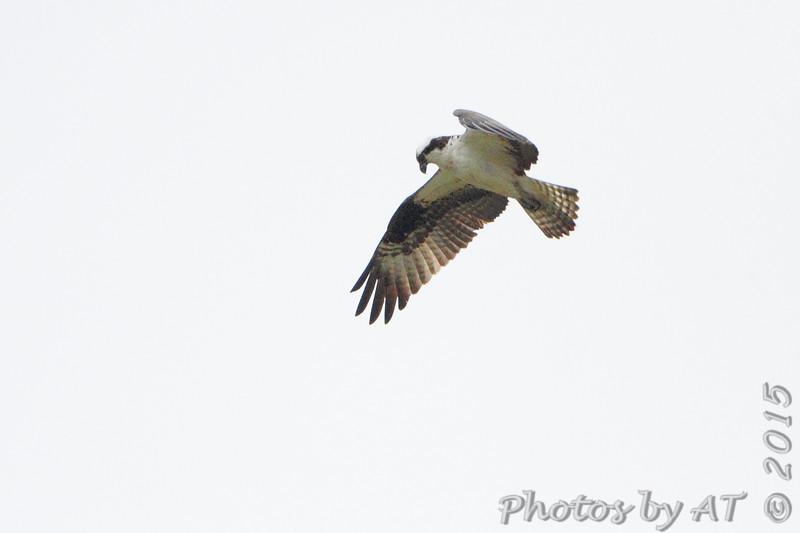 Osprey <br /> Elms Beach <br /> St. Mary's County, Maryland <br /> 4/09/15