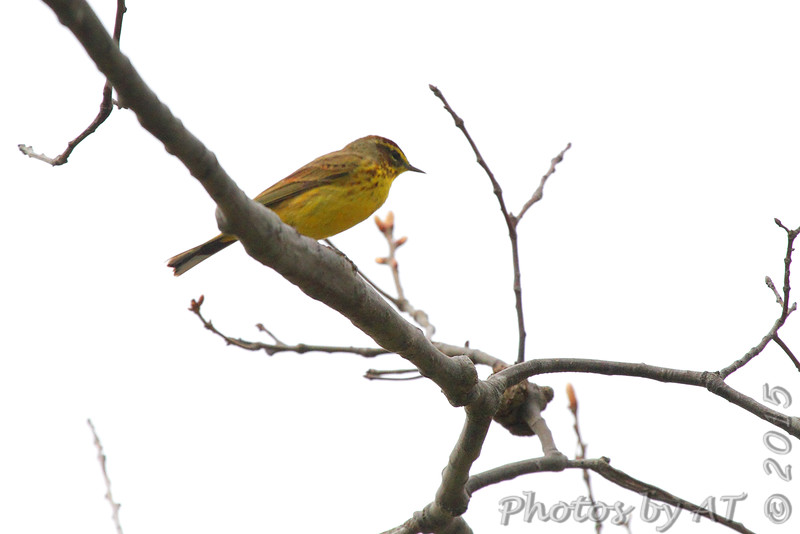 Palm Warbler <br /> Camp Brown Road, Scotland <br /> St. Mary's County, Maryland <br /> 4/10/15