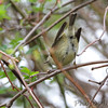 Ruby_crowned Kinglet <br /> Point Lookout State Park  <br /> St. Mary's County, Maryland <br /> 4/09/15