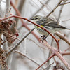Yellow-rumped Warbler <br /> Picnic Area <br /> Point Lookout State Park  <br /> St. Mary's County, Maryland <br /> 4/09/15