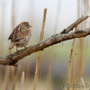 Song Sparrow <br /> Point Lookout State Park  <br /> St. Mary's County, Maryland <br /> 4/09/15