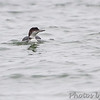 Common Loon <br /> Elms Beach <br /> St. Mary's County, Maryland <br /> 4/09/15