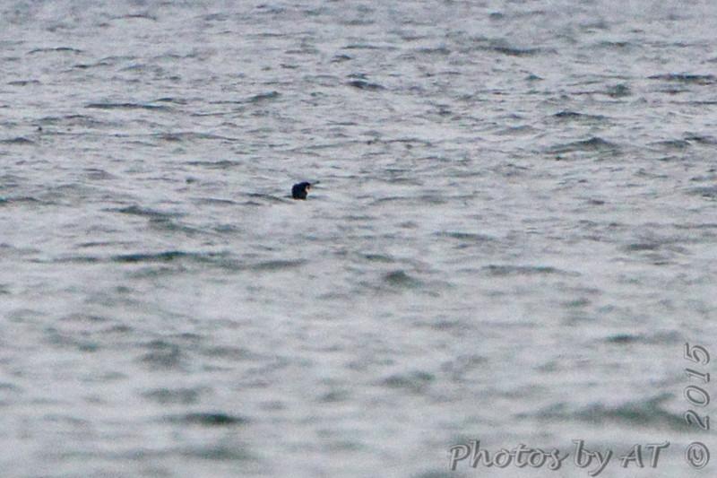 Great Cormorant <br /> Elms Beach <br /> St. Mary's County, Maryland <br /> 4/09/15
