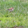 Field Sparrow <br /> Point Lookout State Park  <br /> St. Mary's County, Maryland <br /> 4/09/15