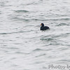 Black Scoter <br /> Point Lookout Causeway <br /> St. Mary's County, Maryland <br /> 4/09/15