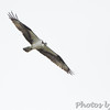 Osprey <br /> Elms Beach <br /> St. Mary's County, Maryland <br /> 4/09/15
