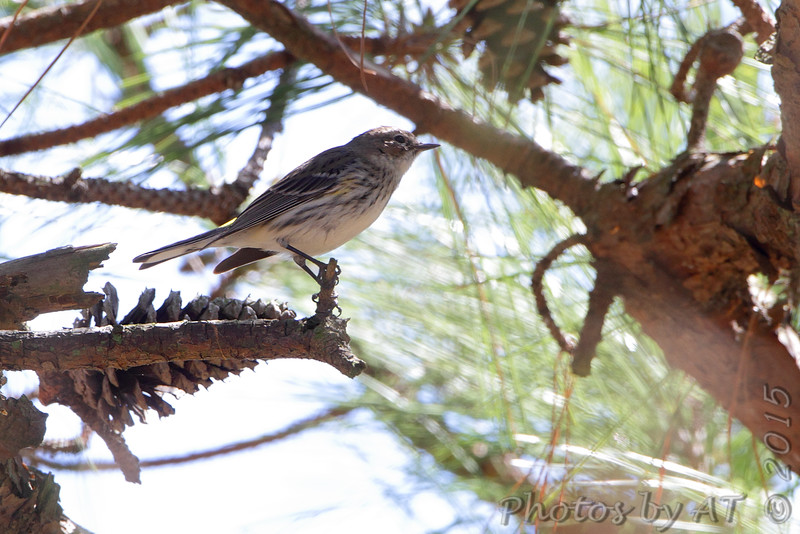 Yellow-rumped Warbler <br /> Point Lookout State Park <br /> St. Mary's County, Maryland <br /> 04/11/15
