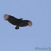 Black Vulture <br /> Point Lookout State Park <br /> St. Mary's County, Maryland <br /> 04/11/15
