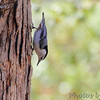 White-breasted Nuthatch <br /> Wildewood, California  <br /> St. Mary's County, Maryland <br /> 04/12/15