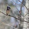 Blue Jay <br /> Wildewood, California  <br /> St. Mary's County, Maryland <br /> 04/12/15