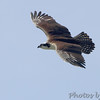 Osprey <br /> Point Lookout State Park <br /> St. Mary's County, Maryland <br /> 04/11/15