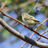 Ruby-crowned Kinglet <br /> Point Lookout State Park <br /> St. Mary's County, Maryland <br /> 04/11/15