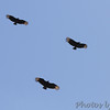 Black Vultures <br /> Point Lookout State Park <br /> St. Mary's County, Maryland <br /> 04/11/15