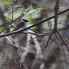 Eastern Phoebe <br /> Point Lookout State Park <br /> St. Mary's County, Maryland <br /> 04/11/15