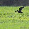 Glossy Ibis <br /> Cornfield Harbor Rd <br /> St. Mary's County, Maryland <br /> (500mm+1.4X) <br /> 04/13/15