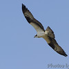 Osprey <br /> Point Lookout State Park <br /> St. Mary's County, Maryland <br /> 04/13/15