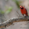 Northern Cardinal <br /> Wildewood, California  <br /> St. Mary's County, Maryland <br /> 04/12/15