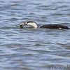Red-throated Loon <br /> Calvert Cliffs State Park <br /> Calvert County, Maryland <br /> 04/16/15