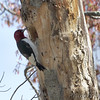 Red-headed Woodpecker <br /> Calvert Cliffs State Park <br /> Calvert County, Maryland <br /> 04/16/15