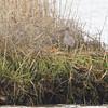 Willet <br /> Indian River Inlet, Delaware <br /> 4/20/15
