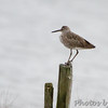 Willet <br /> Indian River Inlet, Delaware <br /> 4/20/15