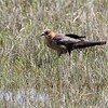Boat-tailed Grackle <br /> Assateague State Park  <br /> Assateague Island, Maryland <br /> 04/21/15