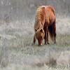 Wild Horse <br /> Assateague State Park  <br /> Assateague Island, Maryland <br /> 04/21/15