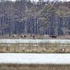 Wild Horses <br /> Assateague State Park  <br /> Assateague Island, Maryland <br /> 04/21/15
