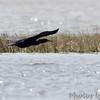 Double-crested Cormorant <br /> Assateague State Park  <br /> Assateague Island, Maryland <br /> 04/21/15