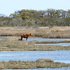 Wild Horse <br /> Assateague State Park  <br /> Assateague Island, Maryland <br /> 04/21/15