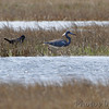Tricolored Heron and Boat-tailed Grackle <br /> Assateague State Park  <br /> Assateague Island, Maryland <br /> 04/21/15