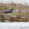 Tricolored Heron  <br /> Assateague State Park  <br /> Assateague Island, Maryland <br /> 04/21/15