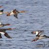 Red-breasted Mergansers<br /> Chincoteague National Wildlife Refuge <br /> Assateague Island, Virginia <br /> 04/21/15