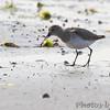 Dunlin <br /> Chincoteague National Wildlife Refuge <br /> Assateague Island, Virginia <br /> 04/21/15