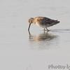Short-billed Dowitcher <br /> Chincoteague National Wildlife Refuge <br /> Assateague Island, Virginia <br /> 04/21/15