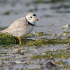 Piping Plover (local nester)<br /> Chincoteague National Wildlife Refuge <br /> Assateague Island, Virginia <br /> 04/21/15