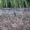 American Bittern <br /> Eagle Bluffs Conservation Area <br /> (Virginia Rail and 2 Sora also seen in those cattails)