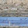 Snowy Plover <br /> This is my first photo, it was really hard to see and I thought I was on it. <br /> But the Snowy Plover is in this photo, barely, far left. <br /> 2015-04-30<br /> <br /> No. 340 on my Lifetime List of Bird Species <br /> Photographed in Missouri