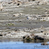 Snowy Plover <br /> Sure knows how to hide and blend in.