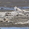 Snowy Plover <br /> Eagle Bluffs Conservation Area