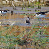 Black-necked Stilts <br /> Cora Island Road (east side)
