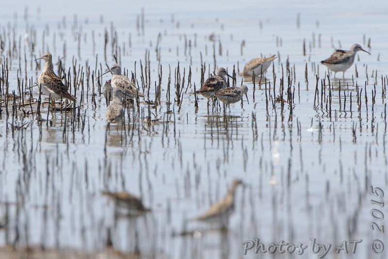 Stilt Sandpipers <br /> and Pectoral Sandpipers <br /> Cora Island Road (West side)