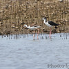 Black-necked Stilts <br /> Cora Island Road (west side)